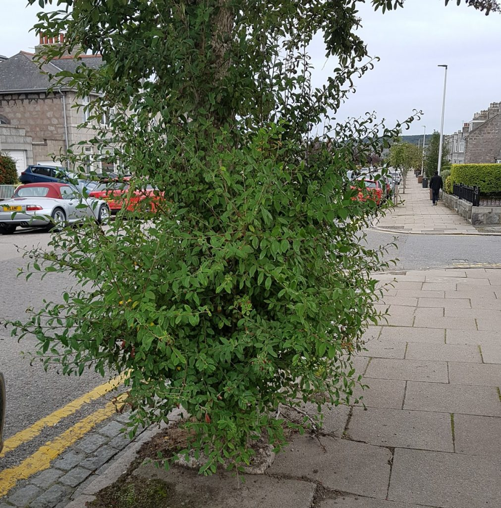 Photo of low growing street tree branches on Hammerfield Avenue